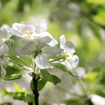 Apple blossoming, Canon EOS 70D, Canon EF 50mm f/1.4 USM