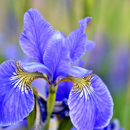 Blue iris, Nikon D610, AF-S Nikkor 28-300mm f/3.5-5.6G ED VR
