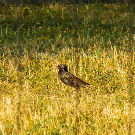 Starling in the grass, Nikon COOLPIX L320
