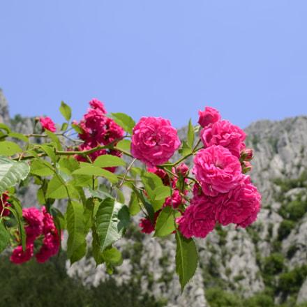 Rose, Nikon D5100, AF-S DX Nikkor 35mm f/1.8G