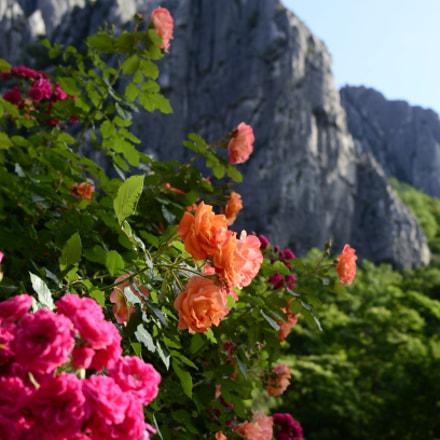 Roses, Nikon D5100, AF-S DX Nikkor 35mm f/1.8G