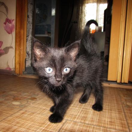 Kitten, Canon POWERSHOT SX510 HS
