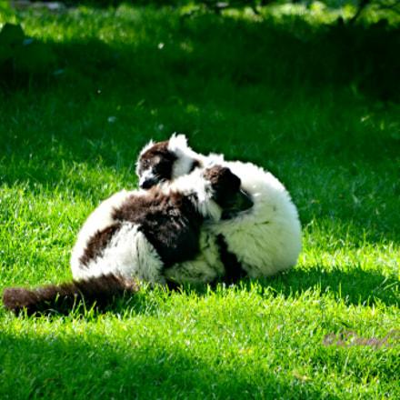 Zoo de Beauval 3, Nikon D5100, AF-S DX VR Zoom-Nikkor 55-200mm f/4-5.6G IF-ED
