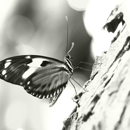 black and white butterfly, Canon EOS 5D MARK II, Canon EF 100mm f/2.8L Macro IS USM