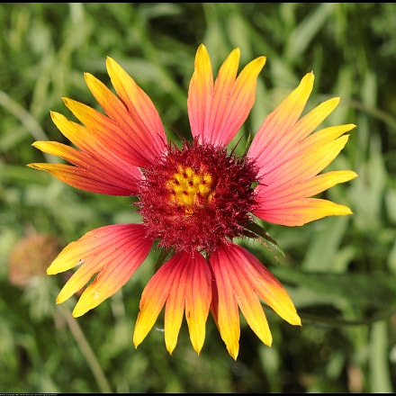 Firewheel wildflower, Canon EOS 80D, Canon EF-S 24mm f/2.8 STM