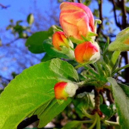 Spring. Apple tree color, Samsung Galaxy Core