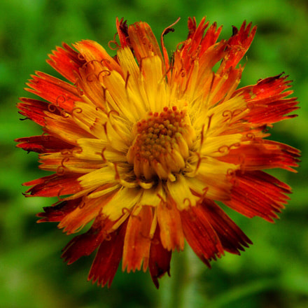 Wildflower, Nikon COOLPIX B500