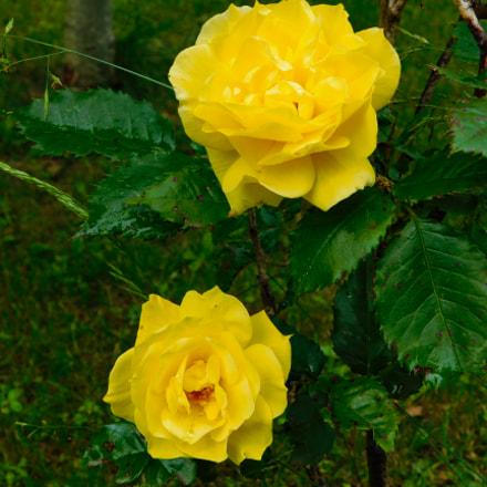 Yellow Roses, Nikon COOLPIX B500