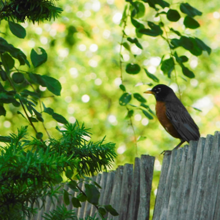 Robin perched on fence, Nikon COOLPIX B500