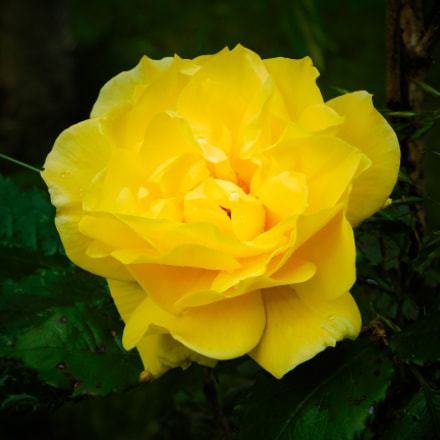 Rose, Nikon COOLPIX B500