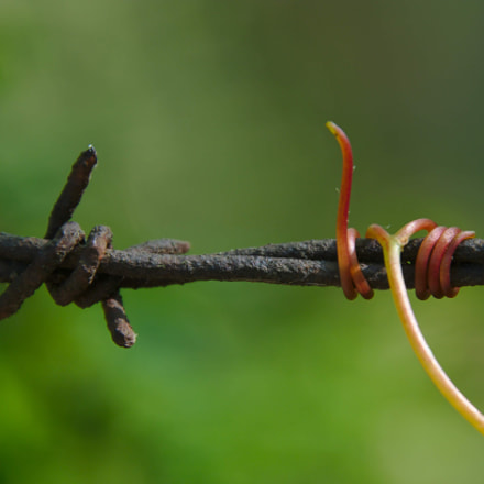 Grape Vine on Barbed, Canon EOS 80D, Canon EF 300mm f/2.8L IS II USM