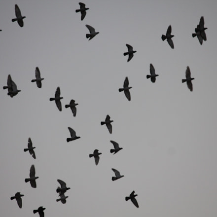 Birds, Canon EOS 550D, Canon EF-S 55-250mm f/4-5.6 IS II