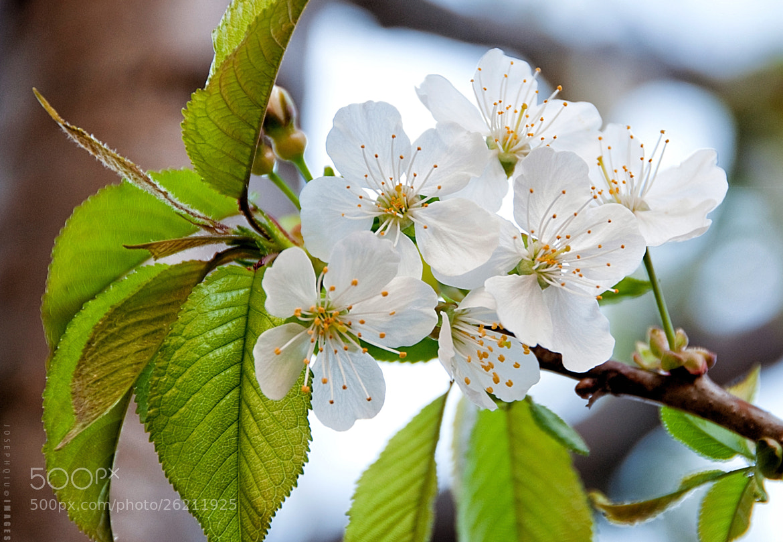 Photograph Cherry Blossom #2 by Joseph Qiu on 500px
