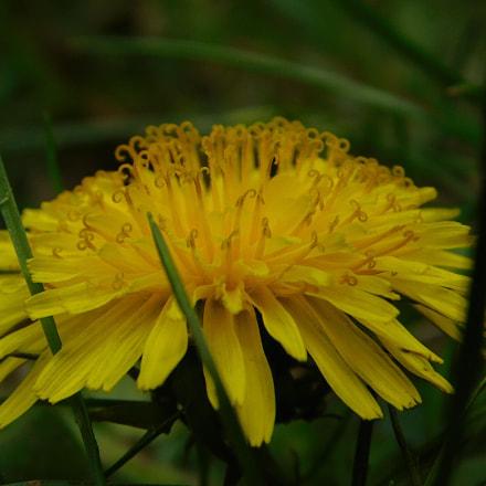 Dandelion, Nikon COOLPIX B500