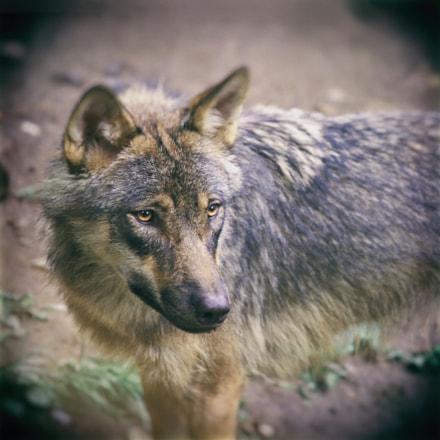wolf, Canon EOS 60D