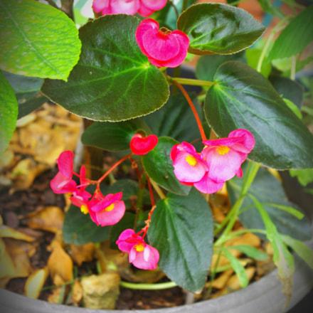 Begonias, Pentax K200D