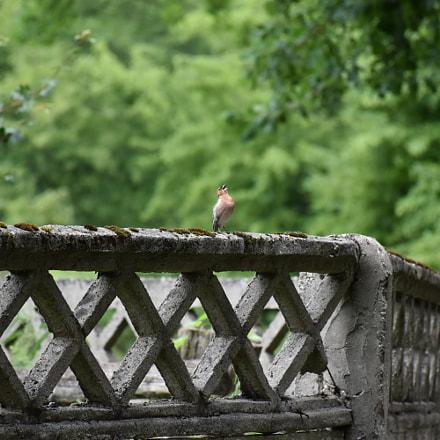 Singing bird, Nikon D5600, AF-S DX Nikkor 18-140mm f/3.5-5.6G ED VR