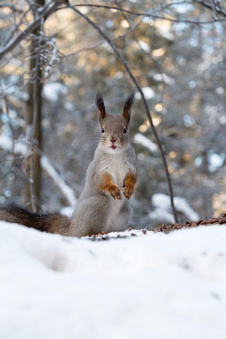 Photograph Amazed Squirrel by Gleb Skrebets on 500px