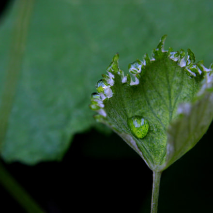 grapeleaf and morning dew, Canon EOS REBEL T2I, Canon EF-S 18-55mm f/3.5-5.6 IS II