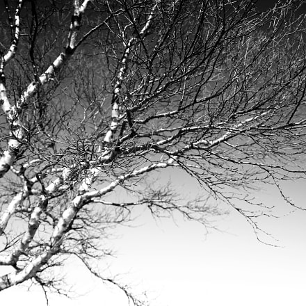 Birch tree branches, Canon EOS 100D, Sigma 17-70mm f/2.8-4 DC Macro OS HSM | C