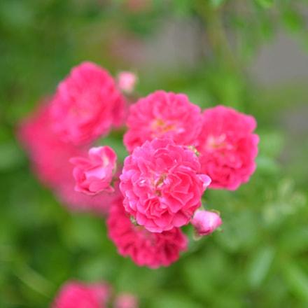 Blooming, Nikon D5100, AF Nikkor 85mm f/1.8D
