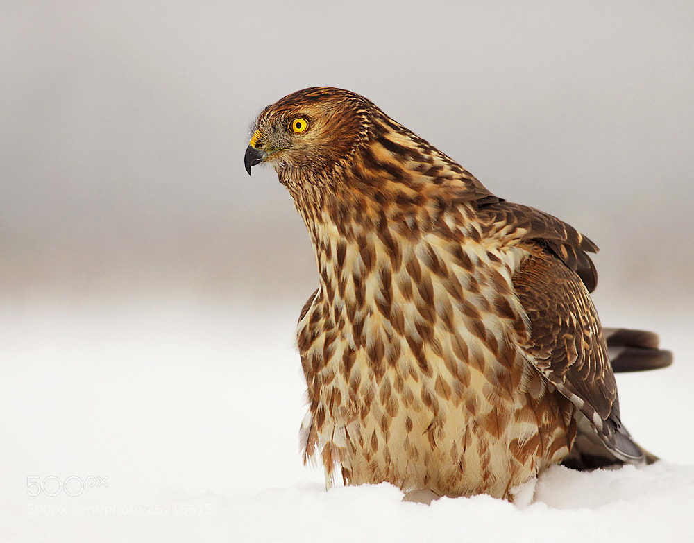 Photograph Northern Harrier by Hencz Judit on 500px