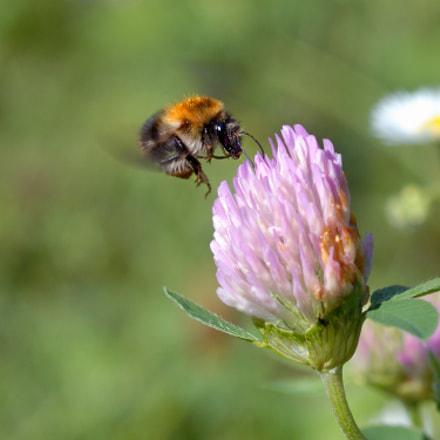 Bumblebee, Nikon D80, AF Micro-Nikkor 60mm f/2.8D