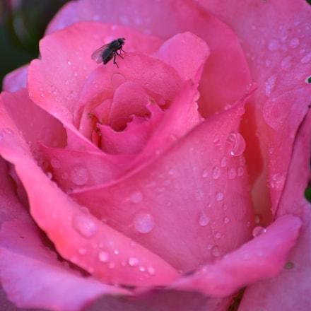 La rose et la, Nikon D5500
