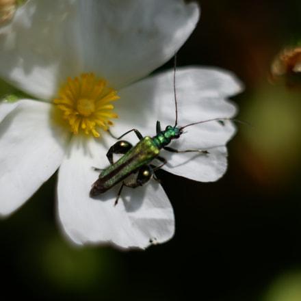 Oedemera nobilis (male), Fujifilm X-A3