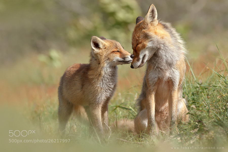 Photograph Fox Felicity by Roeselien Raimond on 500px