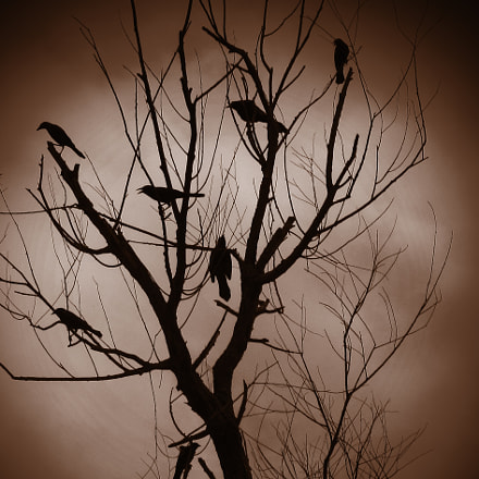 Crows, Canon POWERSHOT SX120 IS