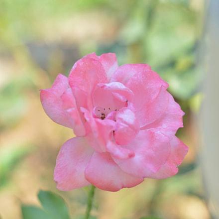 flower_2018_06, Nikon D3200, AF Nikkor 50mm f/1.8D