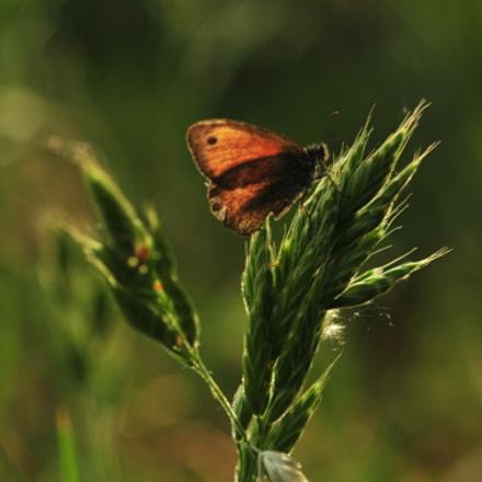 butterfly, Nikon D300, Sigma Macro 105mm F2.8 EX DG