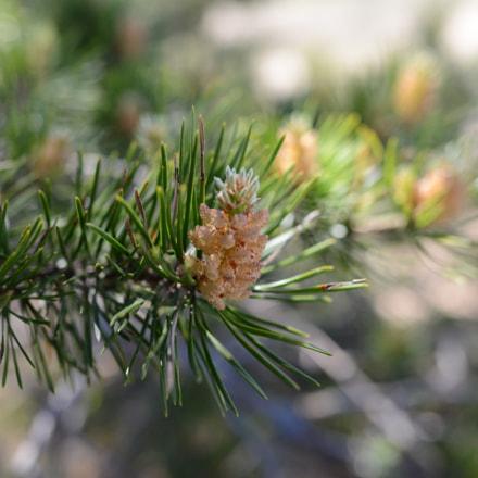 Young pine cones, Nikon D800, AF-S Nikkor 28mm f/1.8G