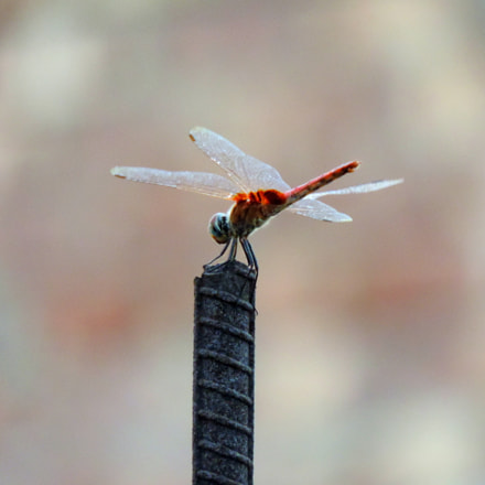 Red hot dragonfly, Nikon COOLPIX P520