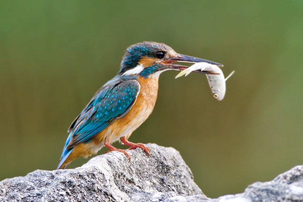 Photograph common kingfisher 물총새 by JinHyouk Jang on 500px