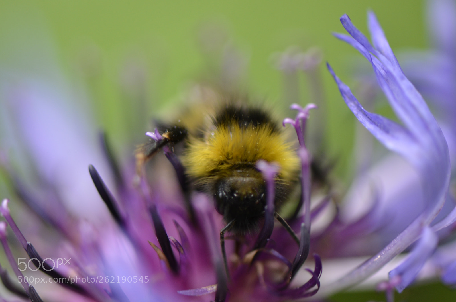 Bee at work, Nikon D7000, AF-S VR Micro-Nikkor 105mm f/2.8G IF-ED