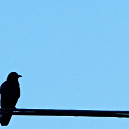 Bird on a Wire, Sony ILCE-6300, Sony E 55-210mm F4.5-6.3 OSS
