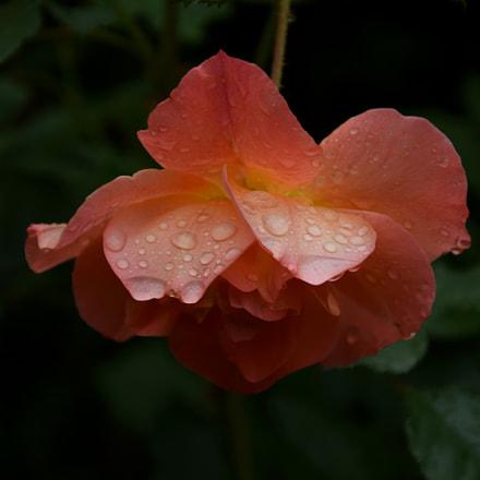 Rose, Nikon D3300, AF-S DX VR Zoom-Nikkor 18-105mm f/3.5-5.6G ED