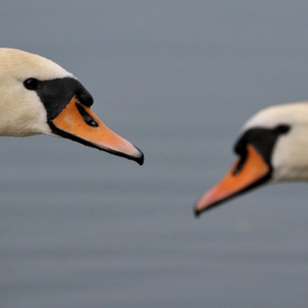 2 swans, Canon EOS 80D, Sigma 150-600mm f/5-6.3 DG OS HSM | C
