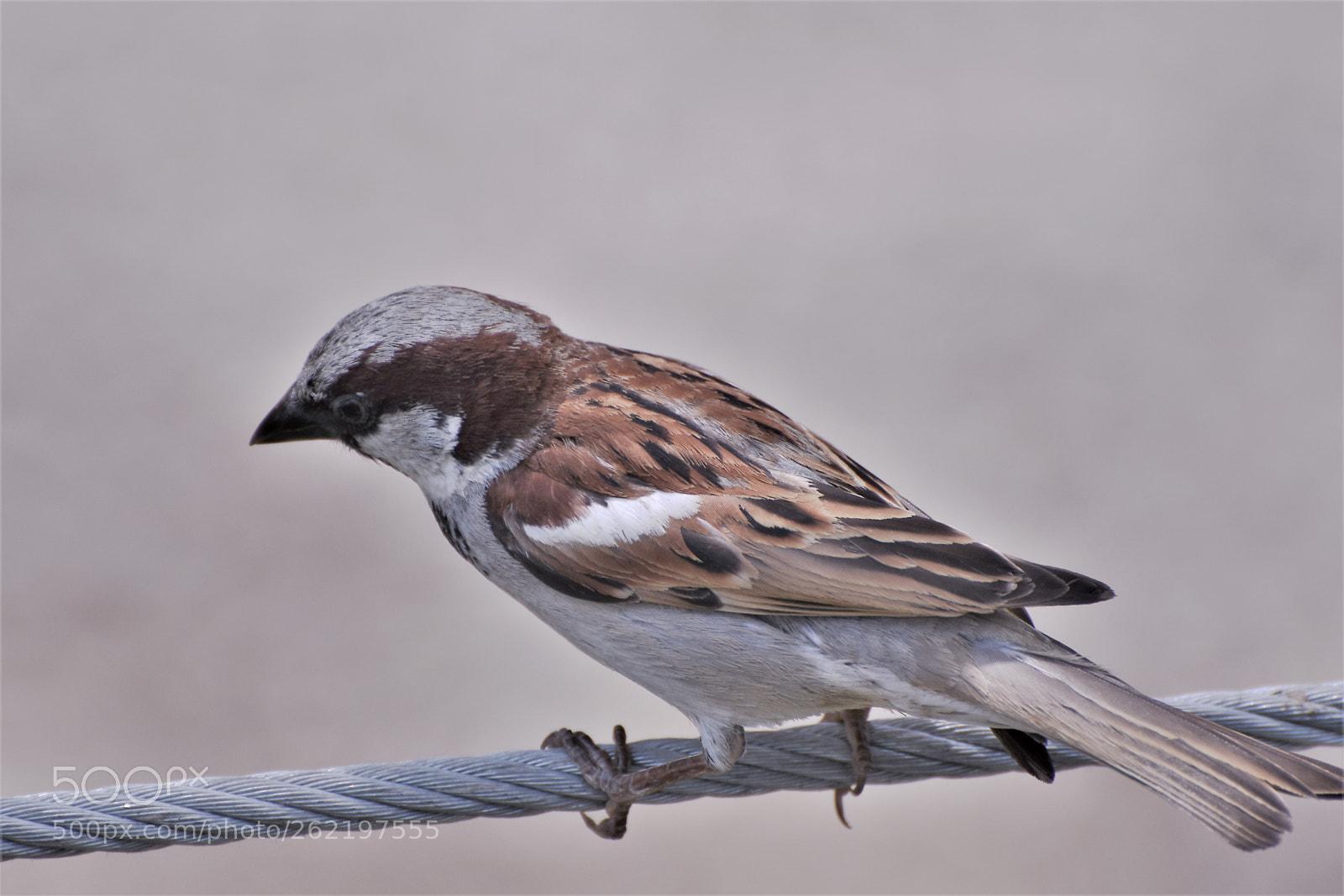 Sparrow . . ., Nikon D7200, AF-S VR Zoom-Nikkor 70-300mm f/4.5-5.6G IF-ED