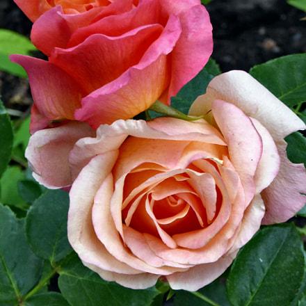 Beautiful roses in the, Panasonic DMC-TZ60