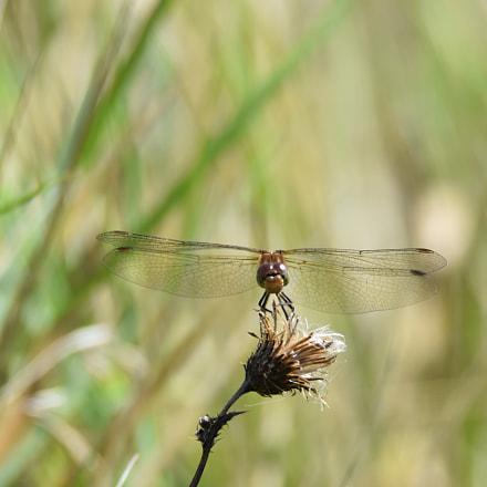 sunbathing dragonfly, Nikon D7200, Tamron SP AF 150-600mm f/5-6.3 VC USD (A011)