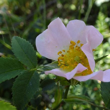 Rosa corymbifera, Fujifilm FinePix HS30EXR