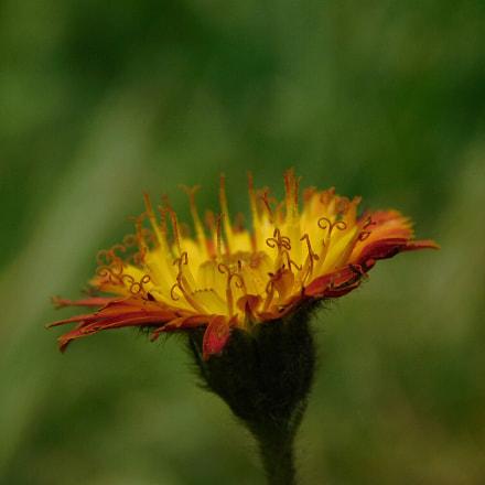 Orange and yellow , Nikon COOLPIX B500