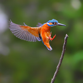 {Common Kingfisher}