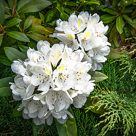 Rhododendron, Canon POWERSHOT G3 X
