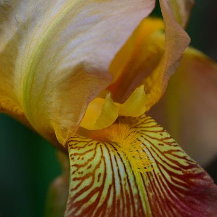 Beautiful iris , Nikon D7500, AF-S DX Nikkor 18-300mm f/3.5-6.3G ED VR
