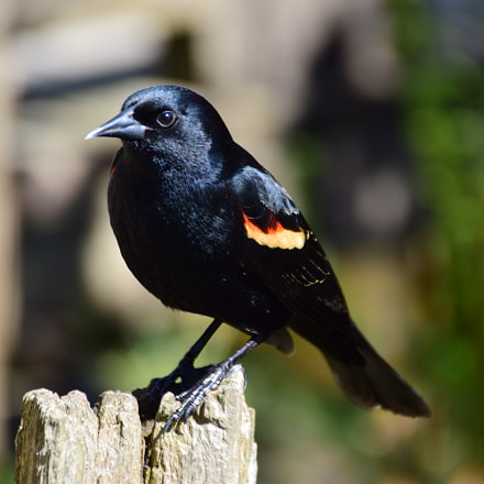 Male Red-Winged Blackbird, Nikon D5300, Sigma 18-250mm F3.5-6.3 DC Macro OS HSM