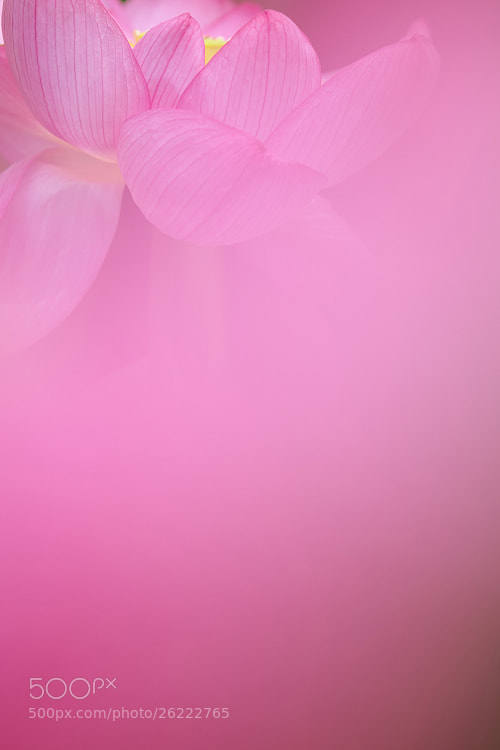 Photograph Dreaming lotus by AI  OGISO on 500px